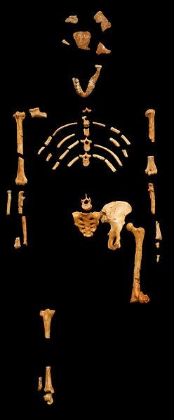 Squelette de Lucy Photo : 120 (2007)